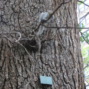 "(Photos) Squirrel Taking a Break on Washington Square's ""Hangmen's"" English Elm, Oldest Living Tree in Manhattan, More"