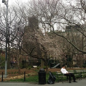 cherry_blossom_post_mulch_fire_washington_square_park