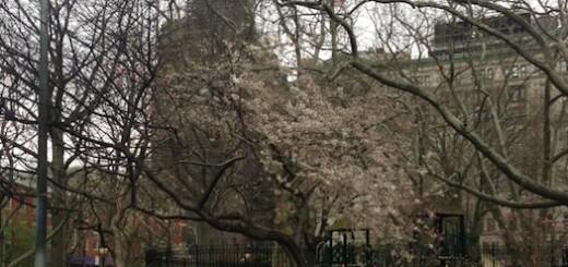cherry_blossom_post_mulch_fire_washington_square_park
