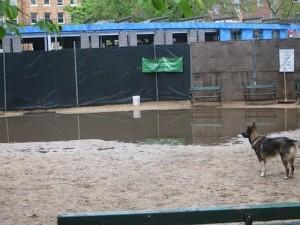 Dog contemplates... water in dog run...