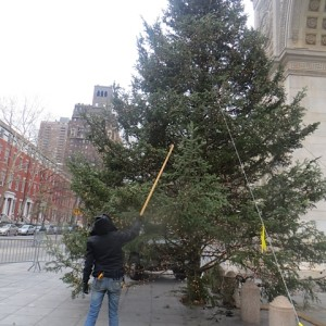 Lights, Camera… Almost Action! Trimming the Park's Tree Yesterday In Advance of Tree Lighting Ceremony
