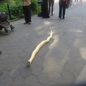 "Snake in the Grass Found at Washington Square Park | Could this be one of snakes ""exhibited"" at park for donations?"