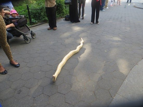"""Snake in the Grass Found at Washington Square Park 