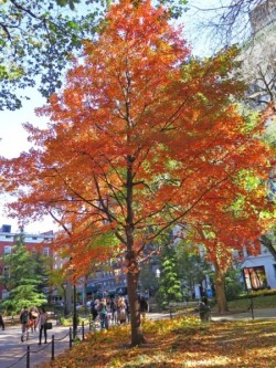 Red Maple at WSP