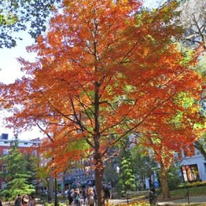 Walk Through Washington Square with Self-Guided Tour of Park Trees' Fall Foliage (Before it's too late!)