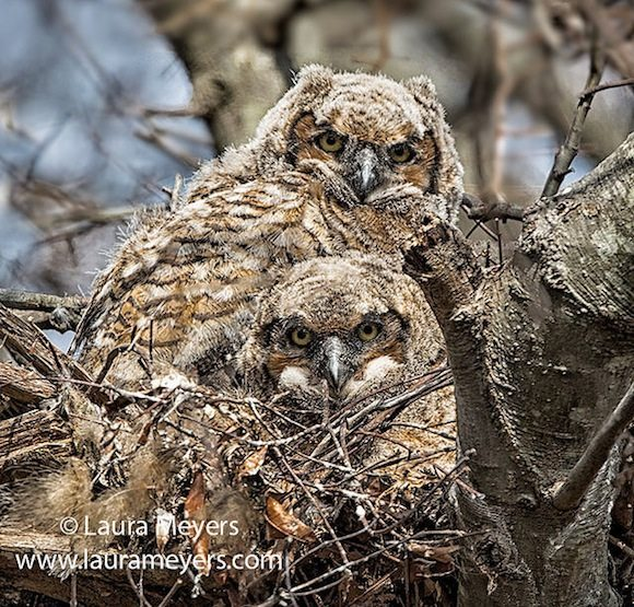 great_horned_owlets_jamaica_bay_wildlife_refuge_new_york_city