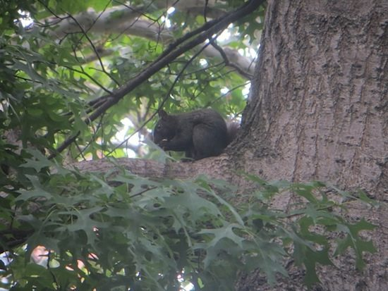 black-squirrel-summer-washington-square-park