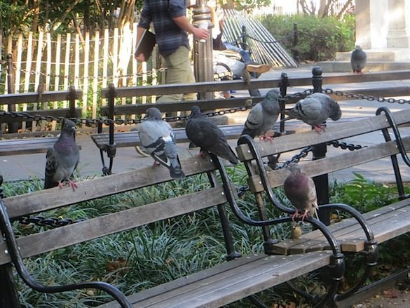 pigeons-on-bench-early-fall-washington-square-park