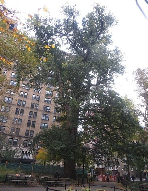 hangmans-elm-washington-square-park-fall-2015