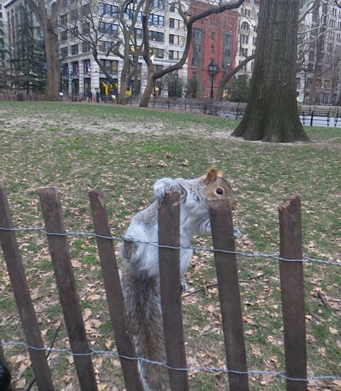 squirrel-washington-square-park-winter