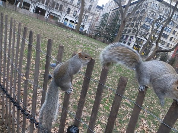 squirrels-fence-washington-square-park-winter-4