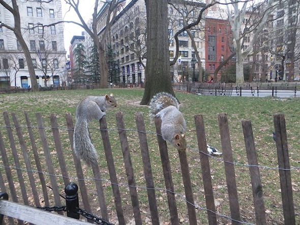 squirrels washington square park fence