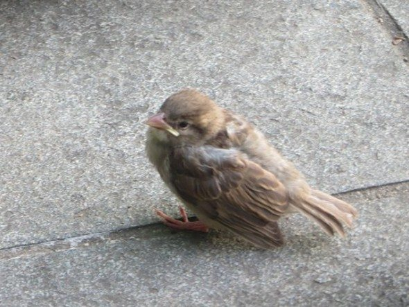 Baby Sparrow Garibaldi Plaza (Mom Nearby)