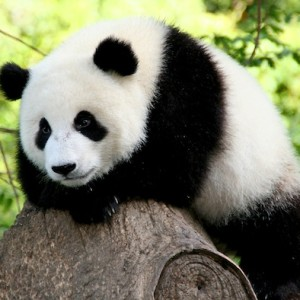 "Save the Pandas! World Premiere of Nat Geo WILD Series ""Mission Critical"" at Washington Square Park August 24th Under the Arch"