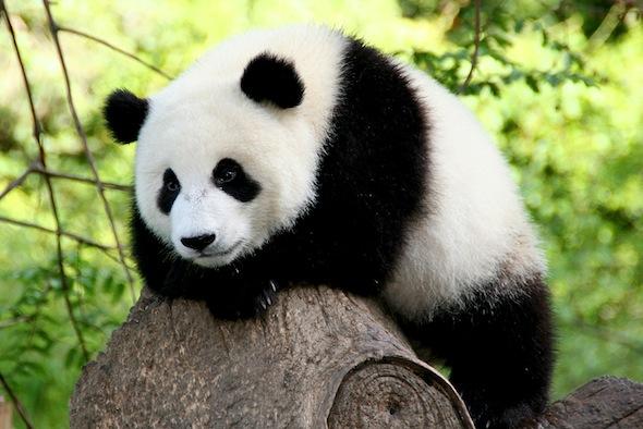Save the Pandas Nat Geo Wild Mission Critical Washington Square Park Premiere