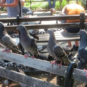pigeons-on-a-park-bench-washington-square-park