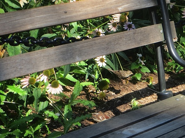 sparrows-echinachea-park-bench-washington-square-summer
