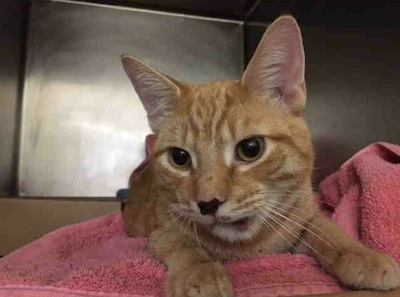 cat hit by car needs adopting medical ACC NYC