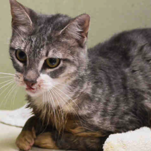 Riley 1 year old cat found Bronx trash can needs adoption