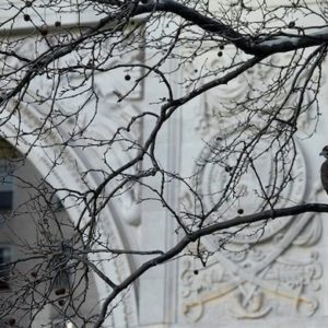 Seven Years of Red-Tailed Hawks at Washington Square Park | HawkCam is Live (Updated)