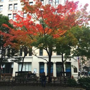 This Fabulous Tree Does Fall Right at Washington Square Park